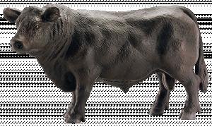 Schleich Horse Club 13766 Angusský černý býk
